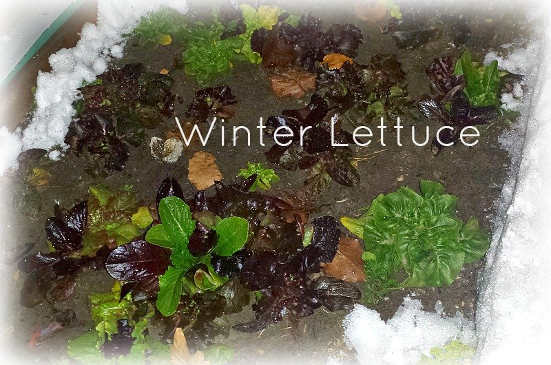 Gardening-through-seasons-lettuce