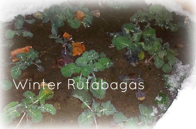 gardening-through-seasons-rutabagas