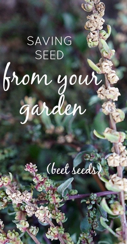 saving-seed-from-your-garden-pinterest